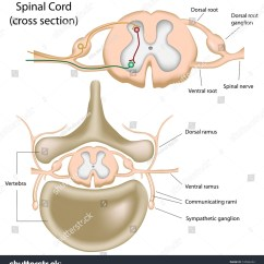 Cross Section Spinal Cord Diagram Labeled Mk4 Golf Radio Wiring Stock Illustration Royalty Free Of The
