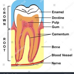 Tooth Diagram With Label Cctv Wiring Connection Cross Section Of Crown And Root Including The