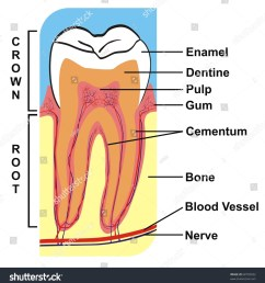 cross section of tooth crown root including the parts enamel dentine pulp gum cementum bone blood vessel nerve for education purpose  [ 1475 x 1600 Pixel ]