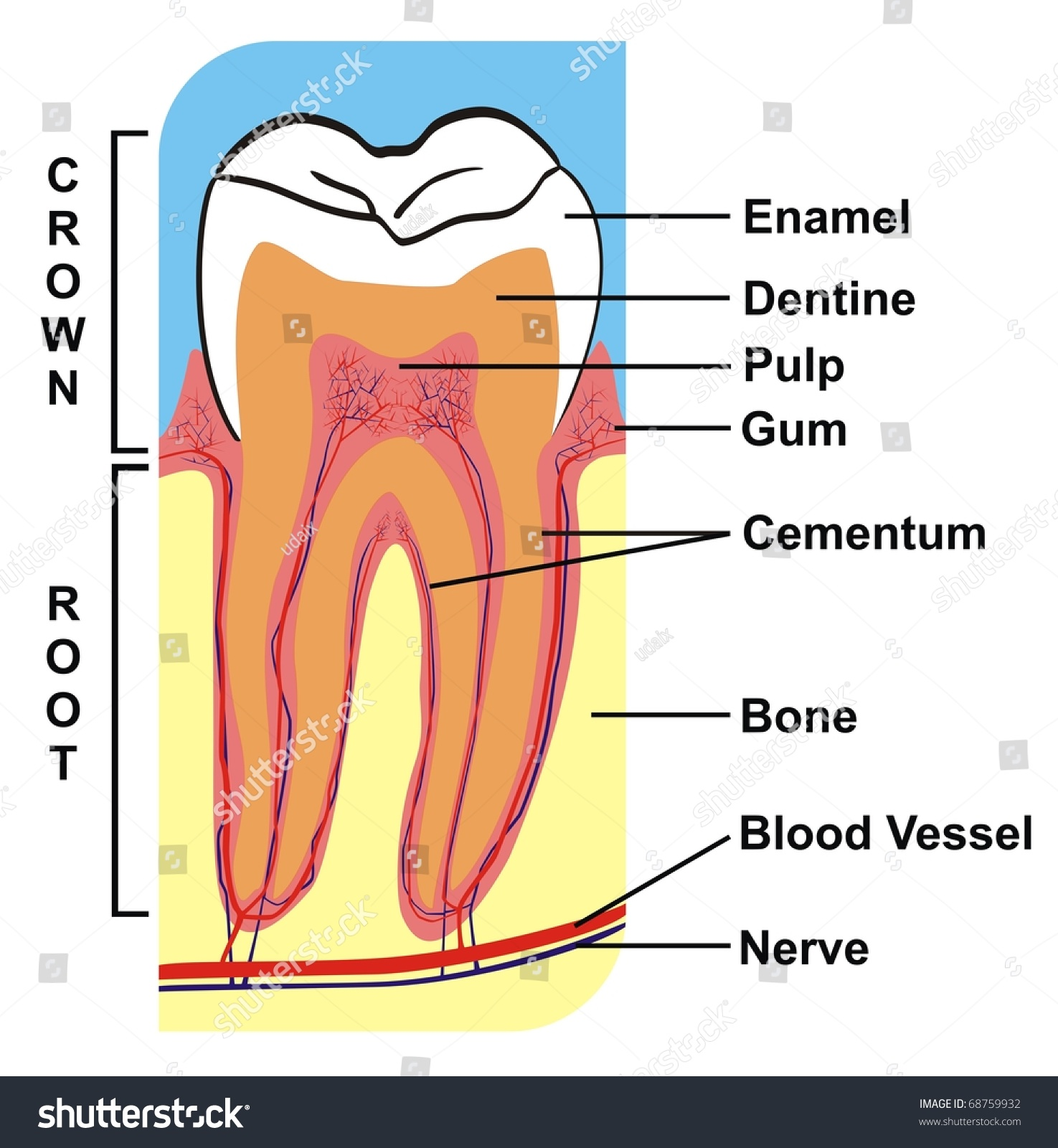 hight resolution of cross section of tooth crown root including the parts enamel dentine pulp gum cementum bone blood vessel nerve for education purpose