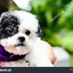 Cute Fluffy White Black Maltipoo Puppy Stock Photo Edit Now 1073265641