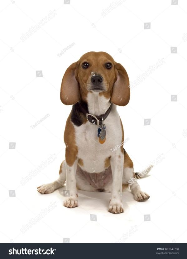 Cute Female Beagle Dog