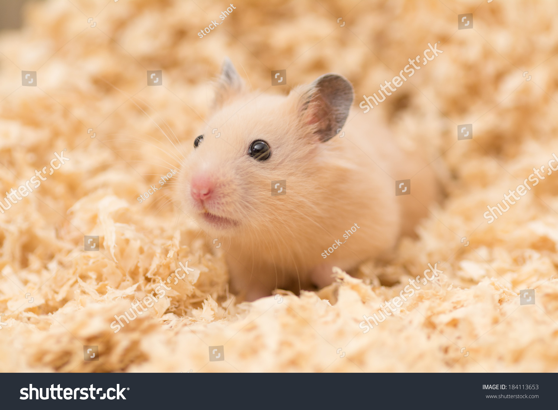 Cute Golden Hamster (Syrian Hamster) On Wood Chips Stock Photo 184113653 : Shutterstock
