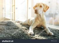 Cute Labrador Dog On Gray Carpet Stock Photo 379389508 ...