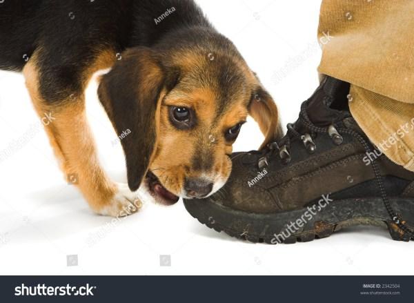 Cute Little Beagle Puppy Dog Chewing Walking Shoe