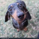 Cute Silver Dapple Dachshund Puppy Stock Photo Edit Now 1493105642