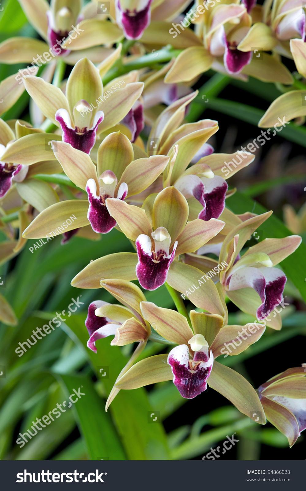Cymbidium Devonianum 'Berry' Orchid Stock Photo 94866028 : Shutterstock
