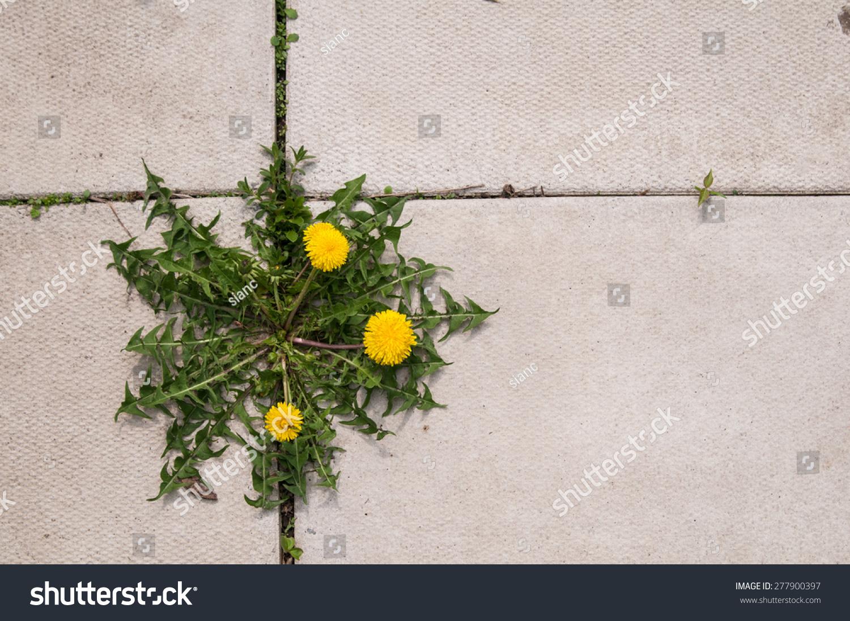Dandelion Weed Growing Cracks Between Patio Stock Photo
