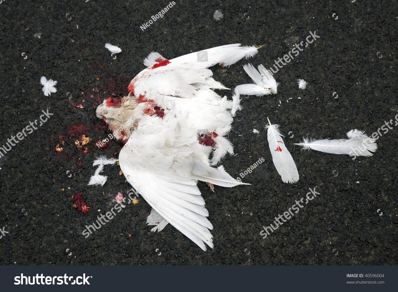 Dead Dove Stock Photo 40596004 Shutterstock
