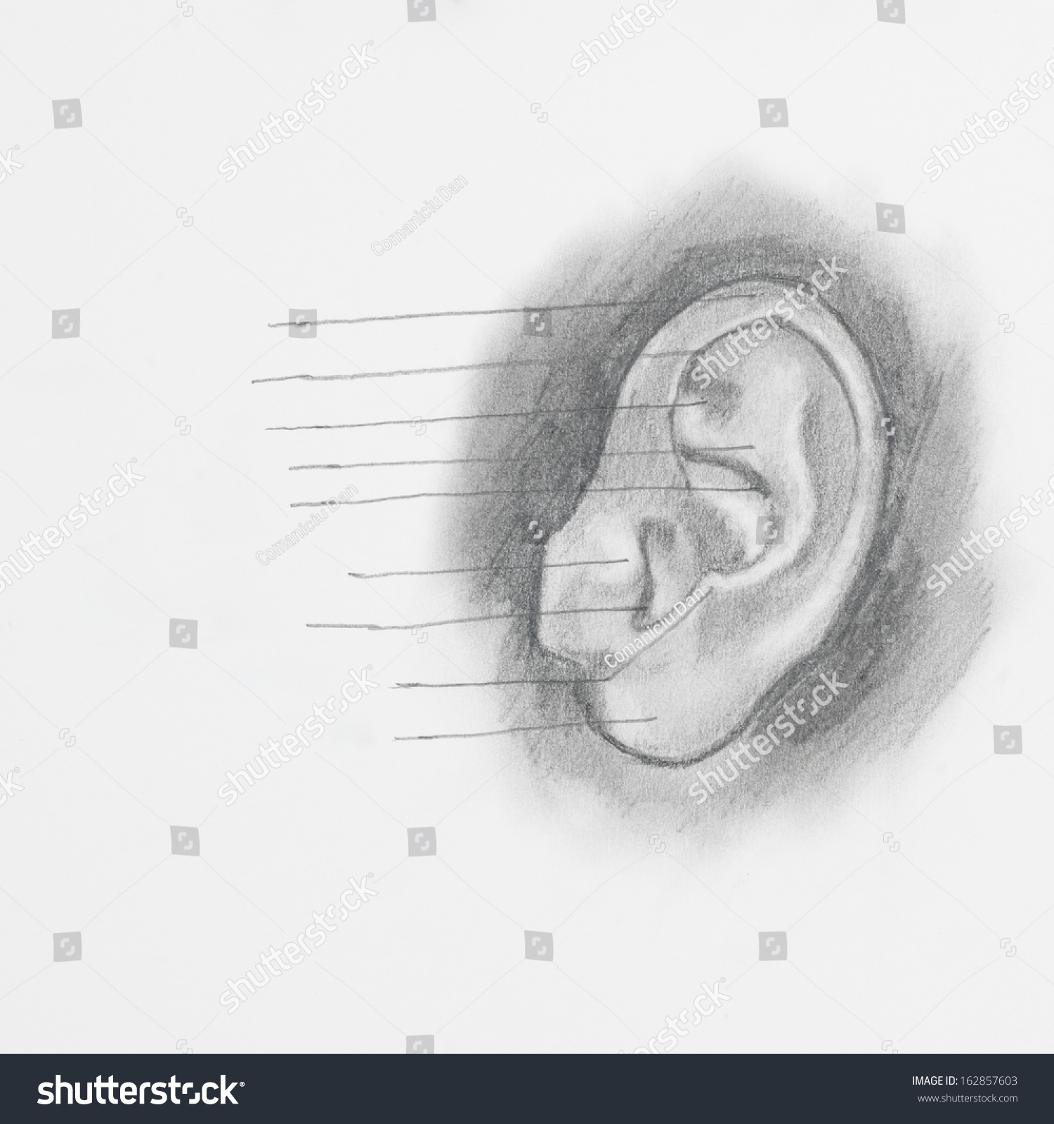 hight resolution of detail of ear pencil drawing on white paper