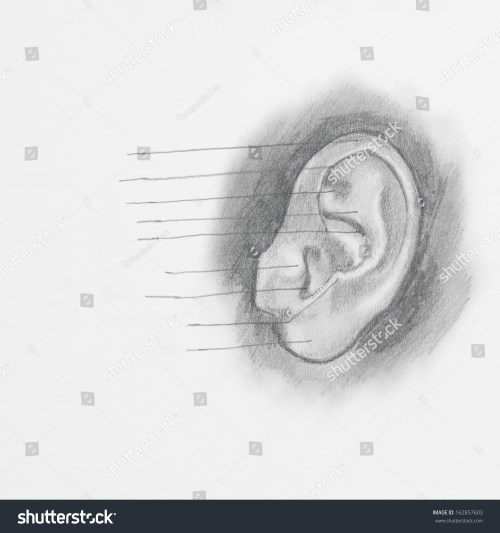 small resolution of detail of ear pencil drawing on white paper