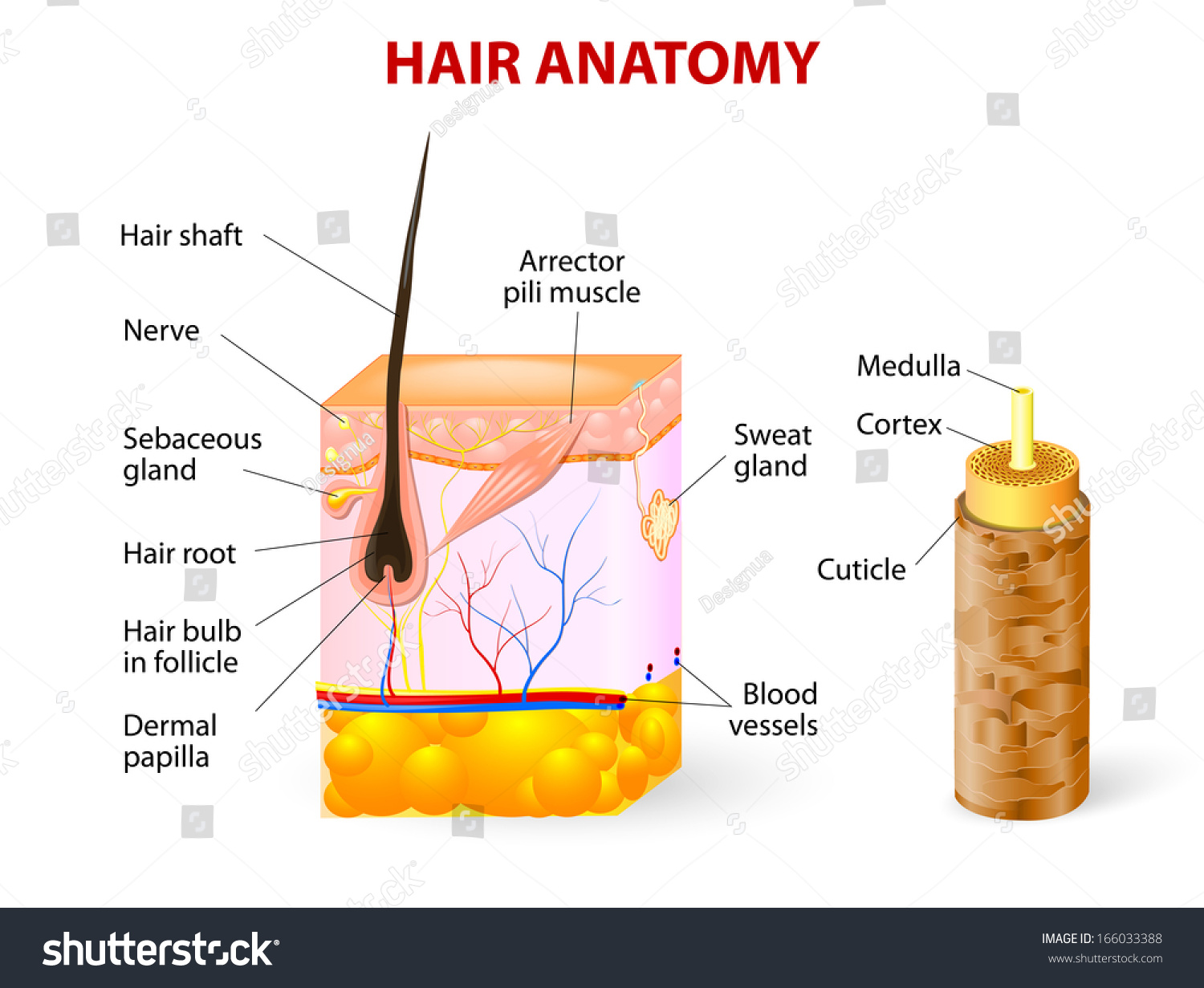skin cross section diagram project impact hair follicle stock