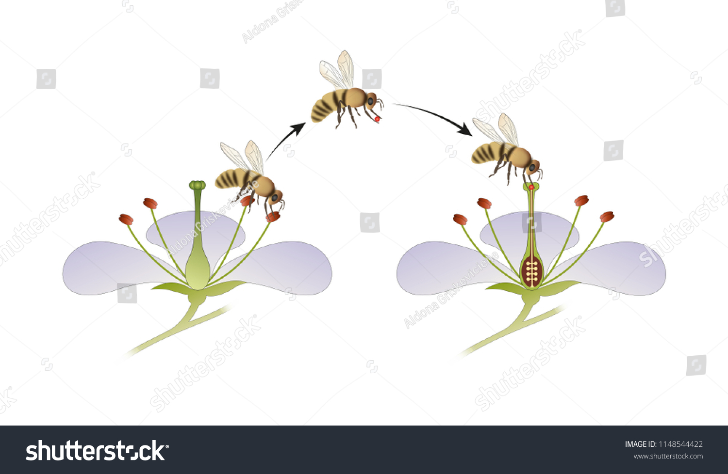 hight resolution of diagram of flower pollination by an insect