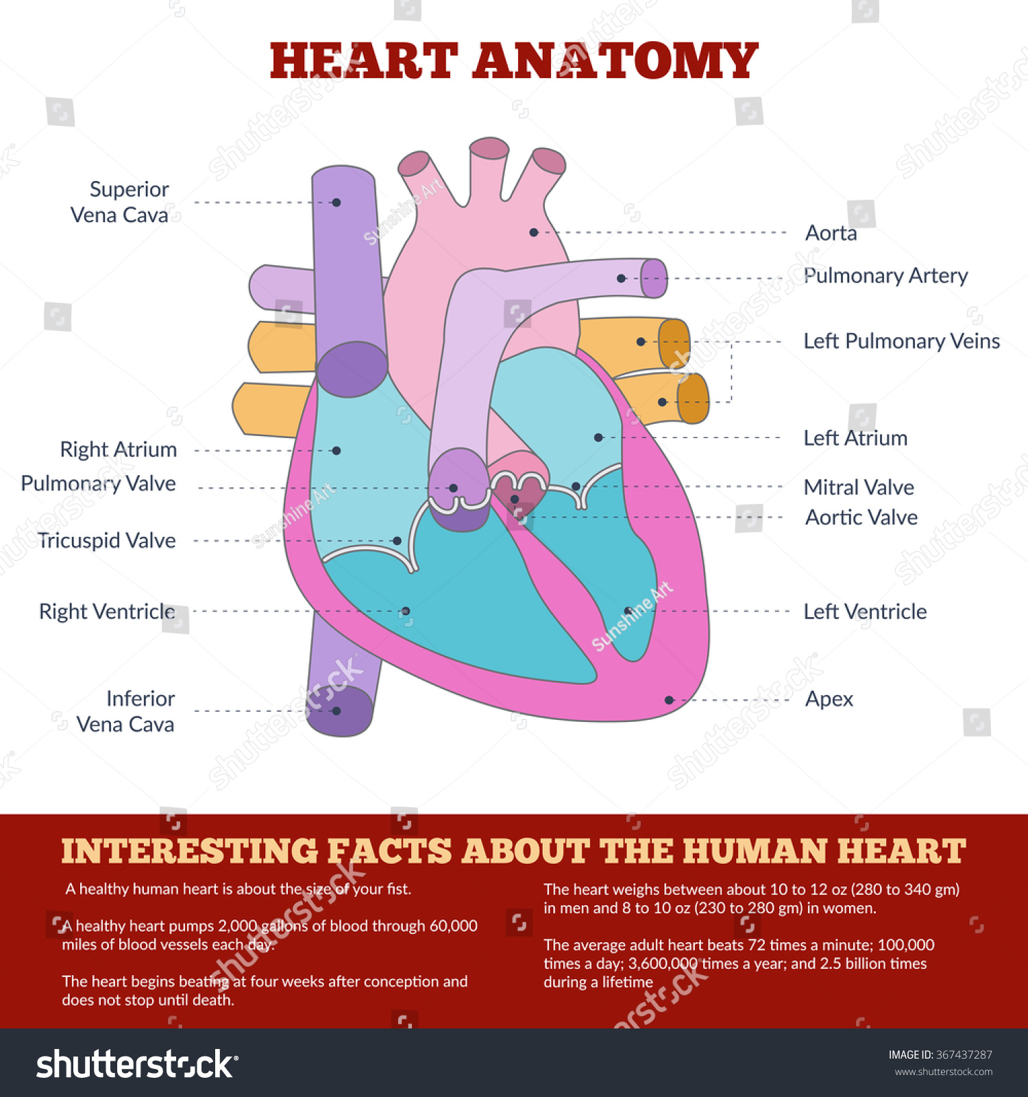 Diagram Of Human Heart Anatomy And Circulatory System Circulation Of Blood Through The Heart