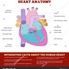 Heart Diagram Outside 1jz Fse Wiring Of Human Anatomy And Circulatory System