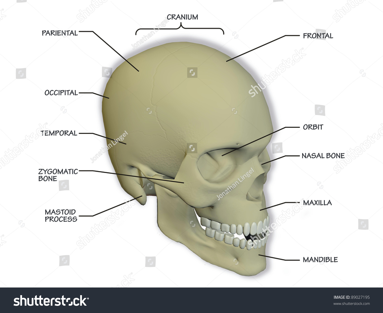 hight resolution of diagram of the human skull