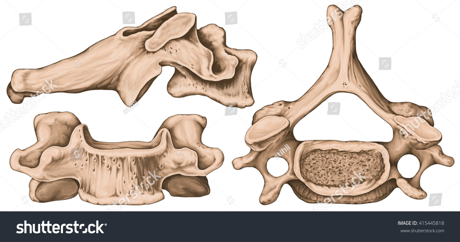 blank spine diagram bargman trailer wiring vertebrea schematic library royalty free stock illustration of didactic board cervical