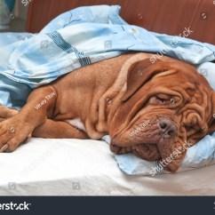 Big Dog Sofa Bed Beds Costco Dogue De Bordeaux French Mastiff Stock Photo 70681669 ...