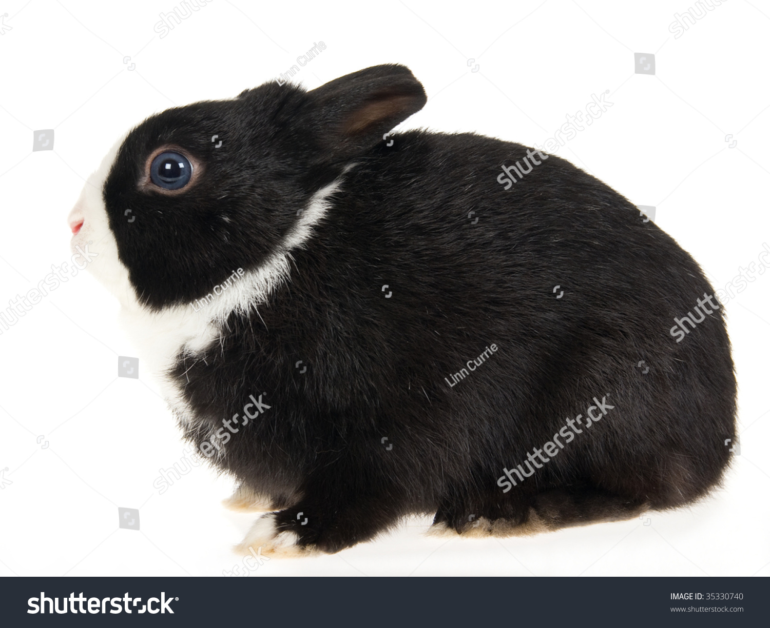 Dwarf Rabbit Black And White