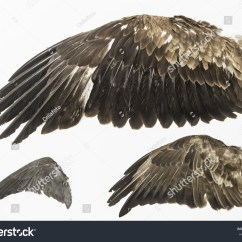 Eagle Wing Diagram Lateral View Sheep Brain Wings Stuffed Exposure Animals Nature Stock Photo