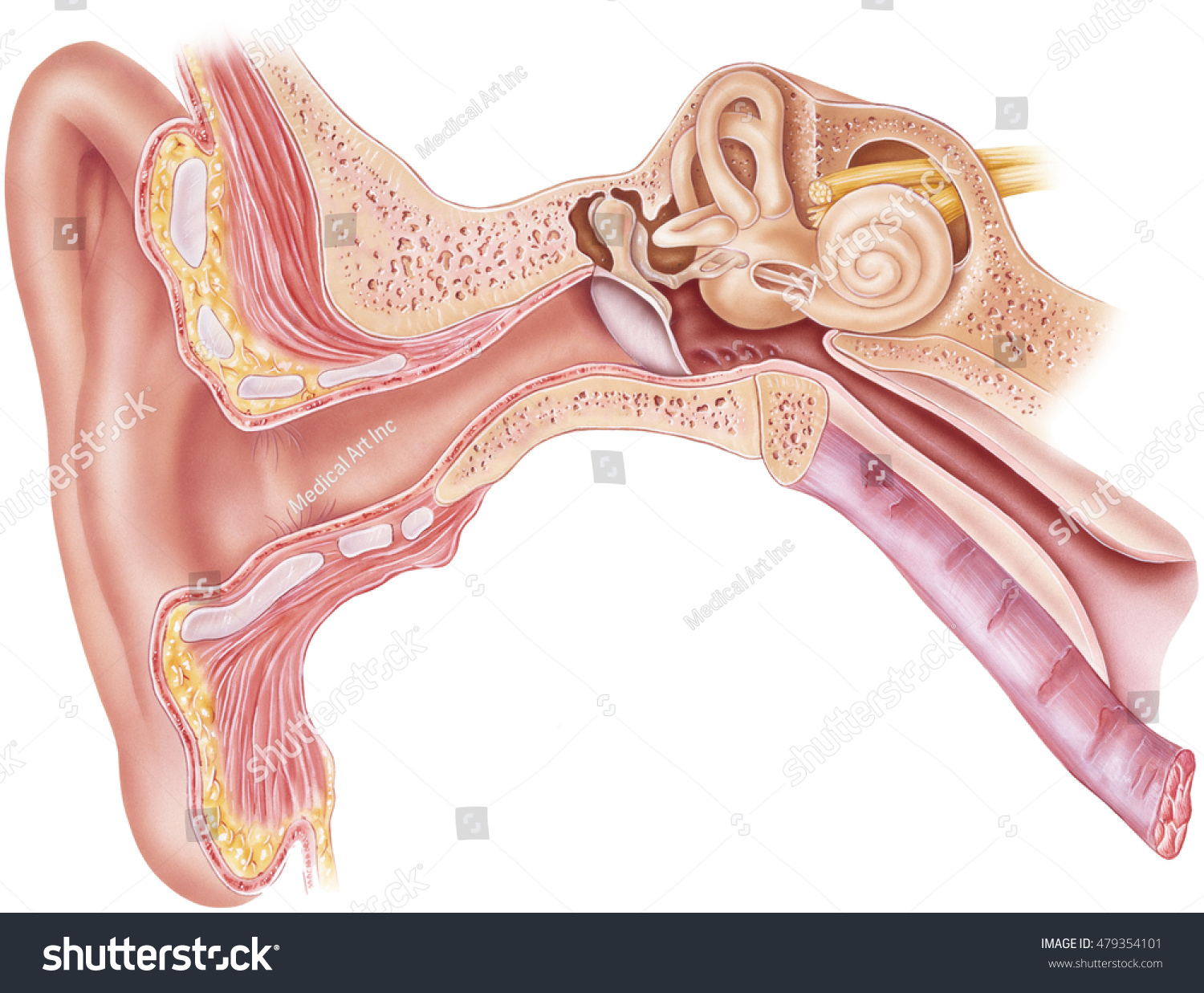 hight resolution of ear anatomy frontal section through the right external middle and internal ear