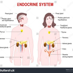 Endocrine System Diagram 1995 Ford Ranger Radio Wiring Man Woman Silhouette Highlighted Stock