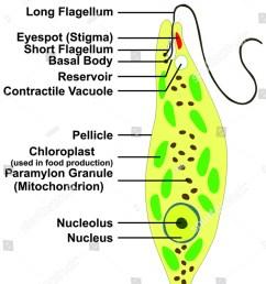 euglena cross section diagram representative protists stock rh shutterstock com diagram of protists a diagram of protist for schoo [ 1044 x 1600 Pixel ]