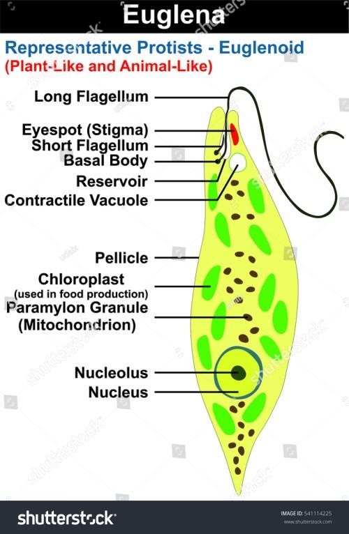 small resolution of euglena cross section diagram representative protists stock rh shutterstock com diagram of protists a diagram of protist for schoo