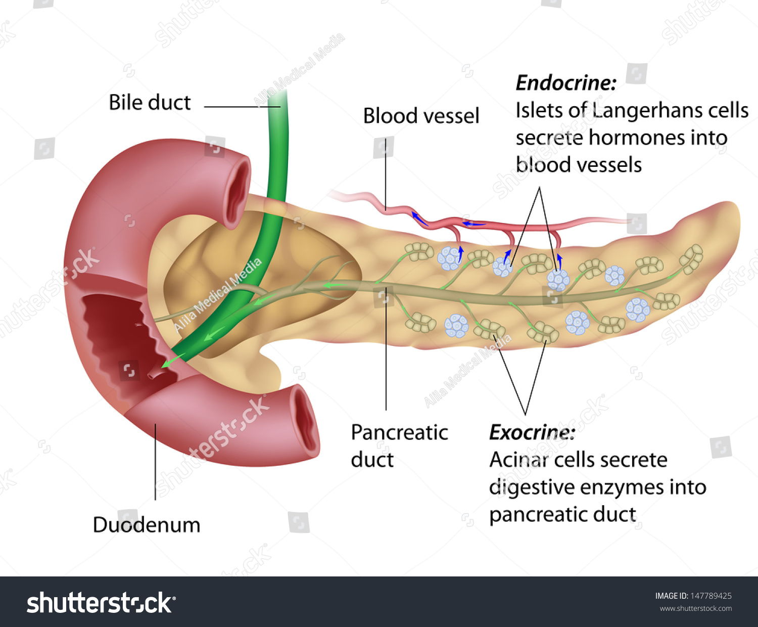 pancreas anatomy diagram wiring for western snow plow exocrine endocrine stock illustration 147789425