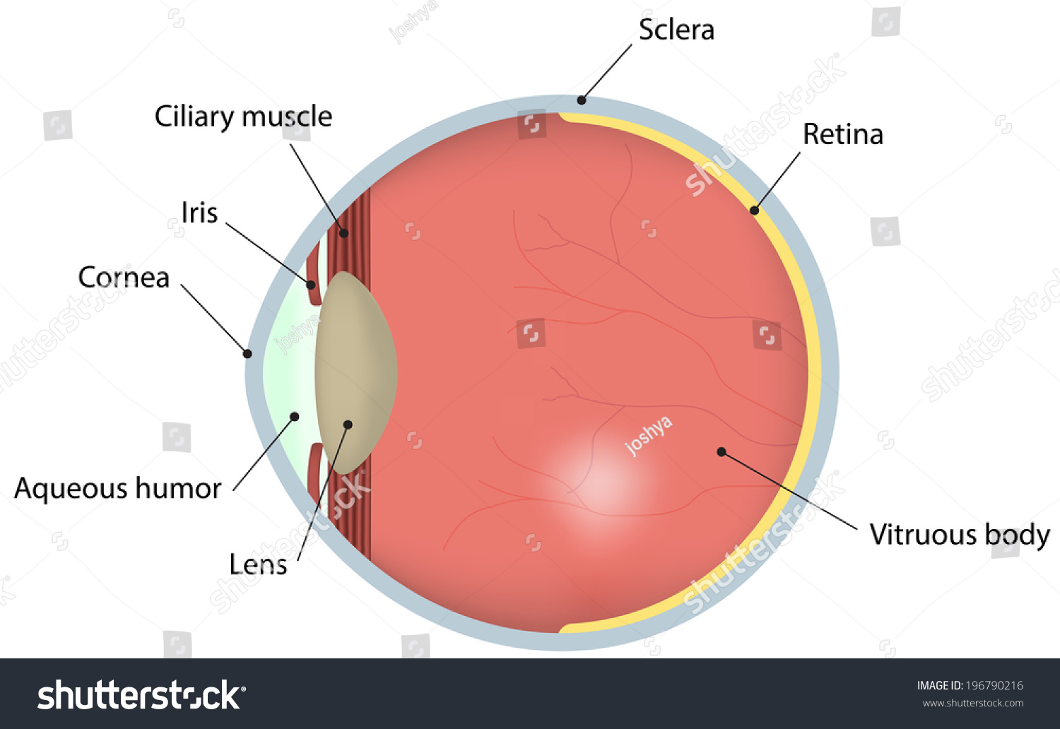 hight resolution of eye cross section labeled diagram