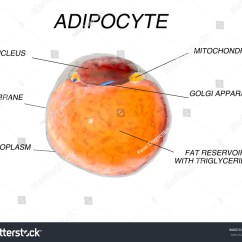White Fat Cell Diagram Wiring Diagrams For Trucks Cells Adipose Tissue Adipocytes 3 D Stock Illustration 400777933 3d Render