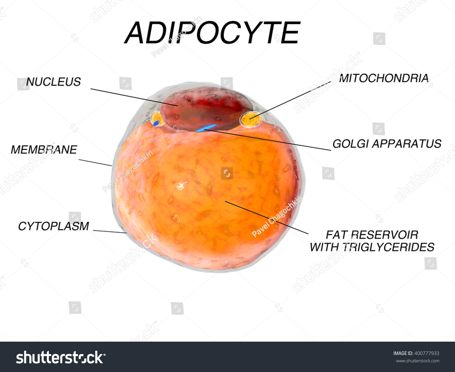 fat structure diagram rover 75 wiring and body electric system diabetic retinopathy drusen elsavadorla