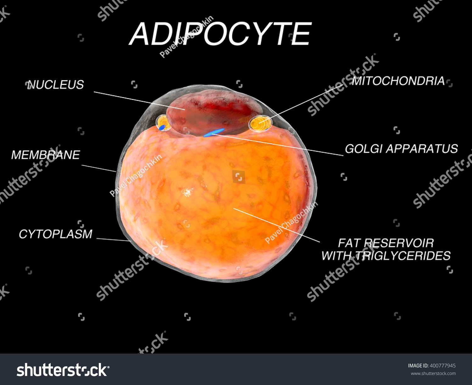 white fat cell diagram seymour duncan wiring strat cells adipose tissue adipocytes 3d stock illustration