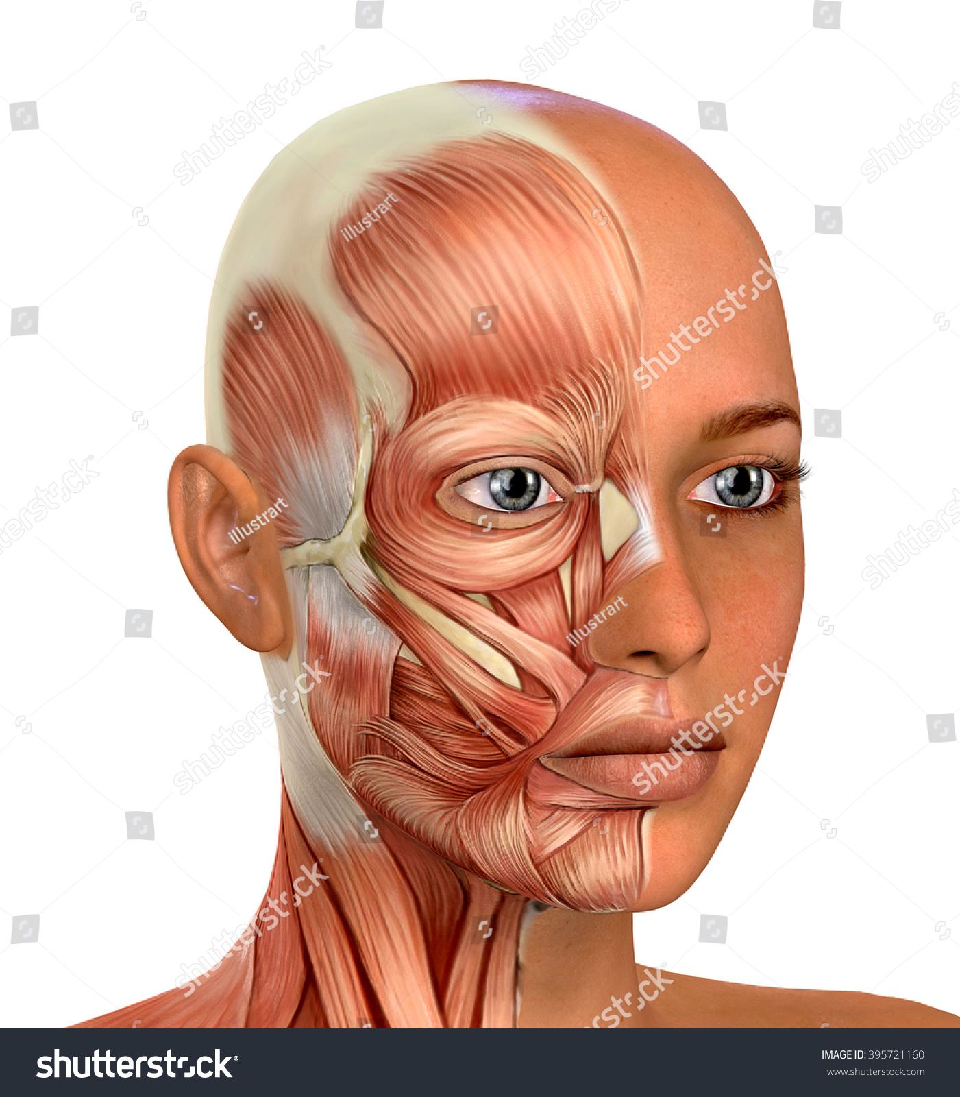 Female Face Muscles Anatomy Stock Photo