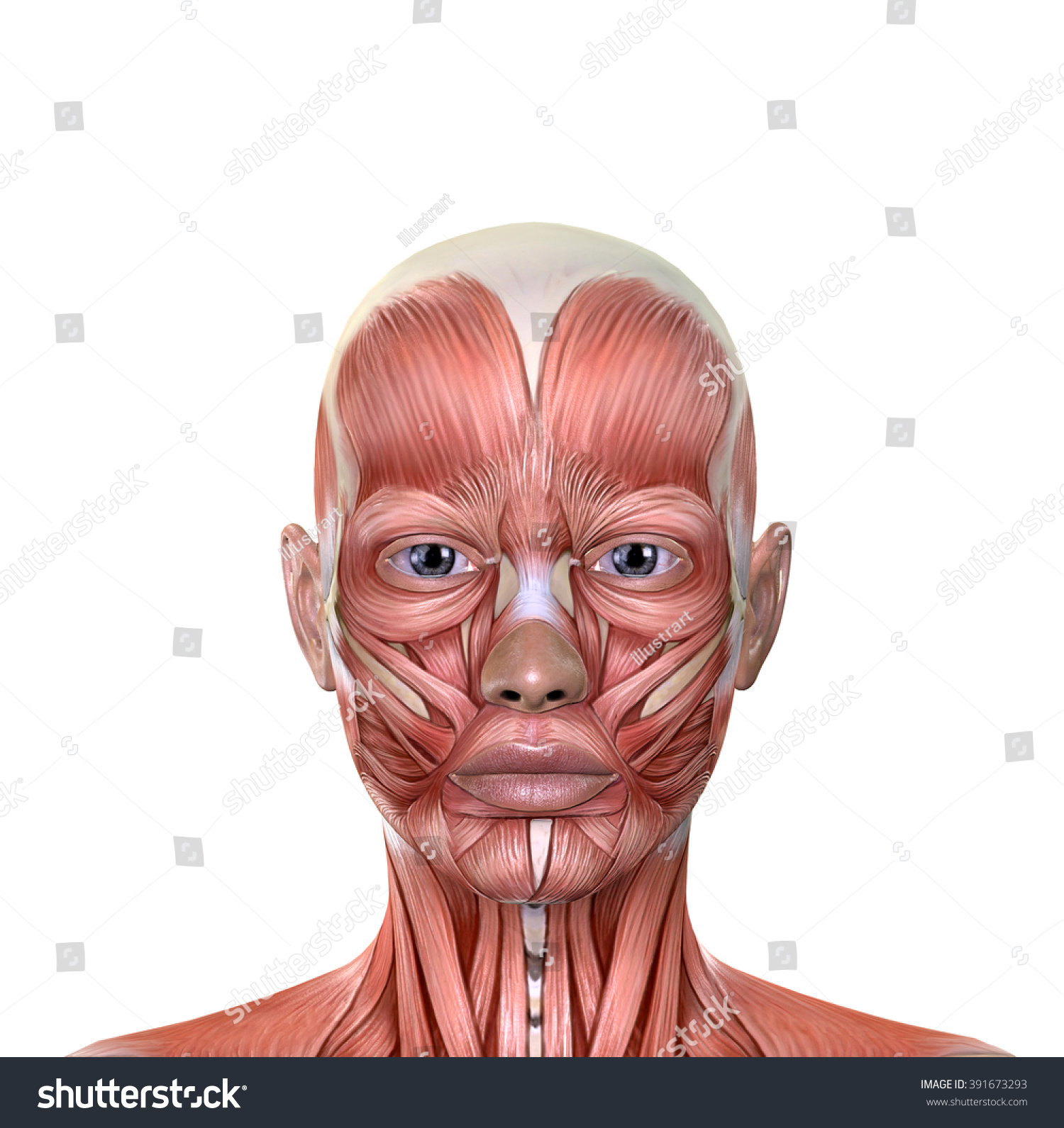 chin muscles diagram airport er female face anatomy isolated on stock illustration