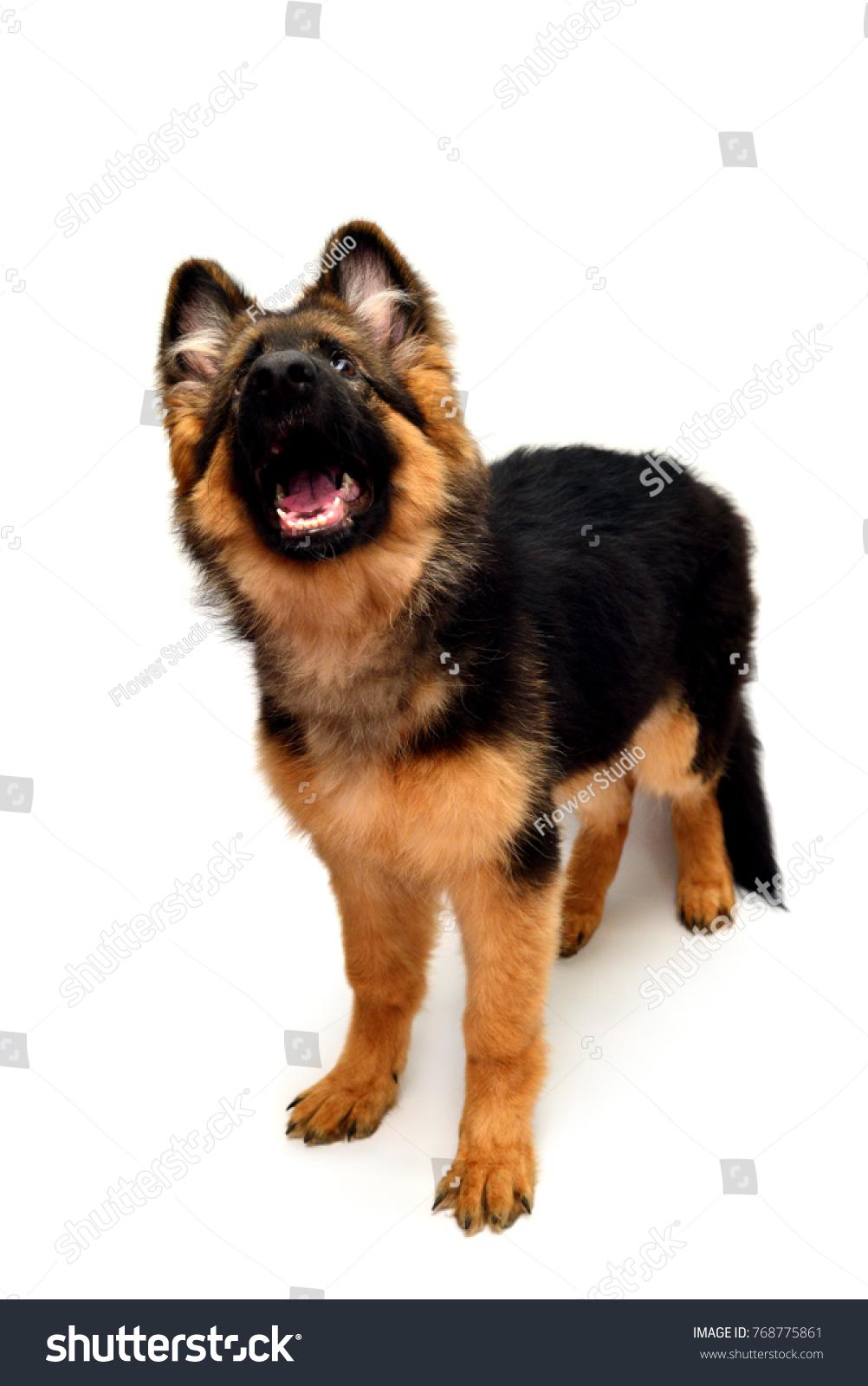 German Shepherd Puppy Teeth : german, shepherd, puppy, teeth, Fluffy, German, Shepherd, Shows, Teeth, Stock, Photo, (Edit, 768775861