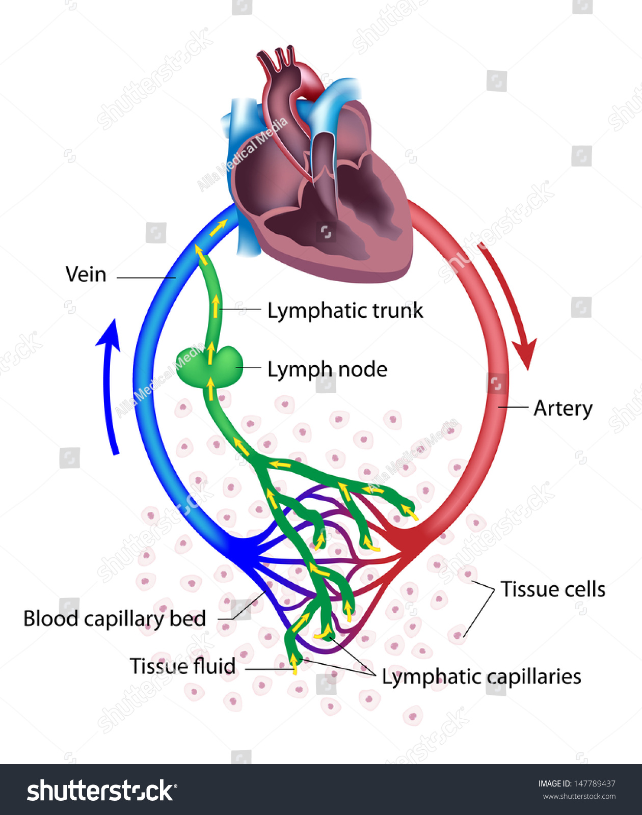 lymph circulation diagram piping and instrumentation book fluid exchange between circulatory lymphatic systems stock