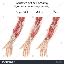 Muscle Diagram Anterior Hand 2005 Scion Xb Wiring Forearm Flexor Muscles Unlabeled Stock Photo 147943919