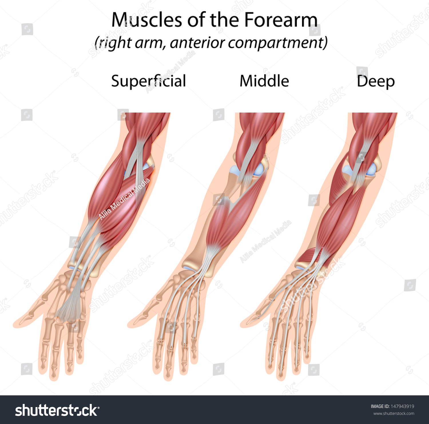 muscle diagram anterior hand wiring for sony xplod radio forearm flexor muscles unlabeled stock photo 147943919