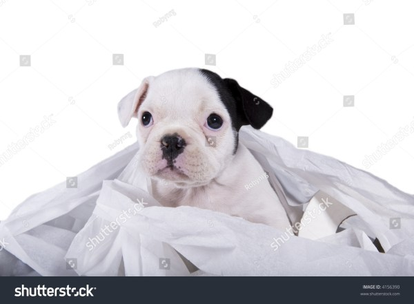 French Bulldog Puppy Caught Playing In Toilet Paper Stock