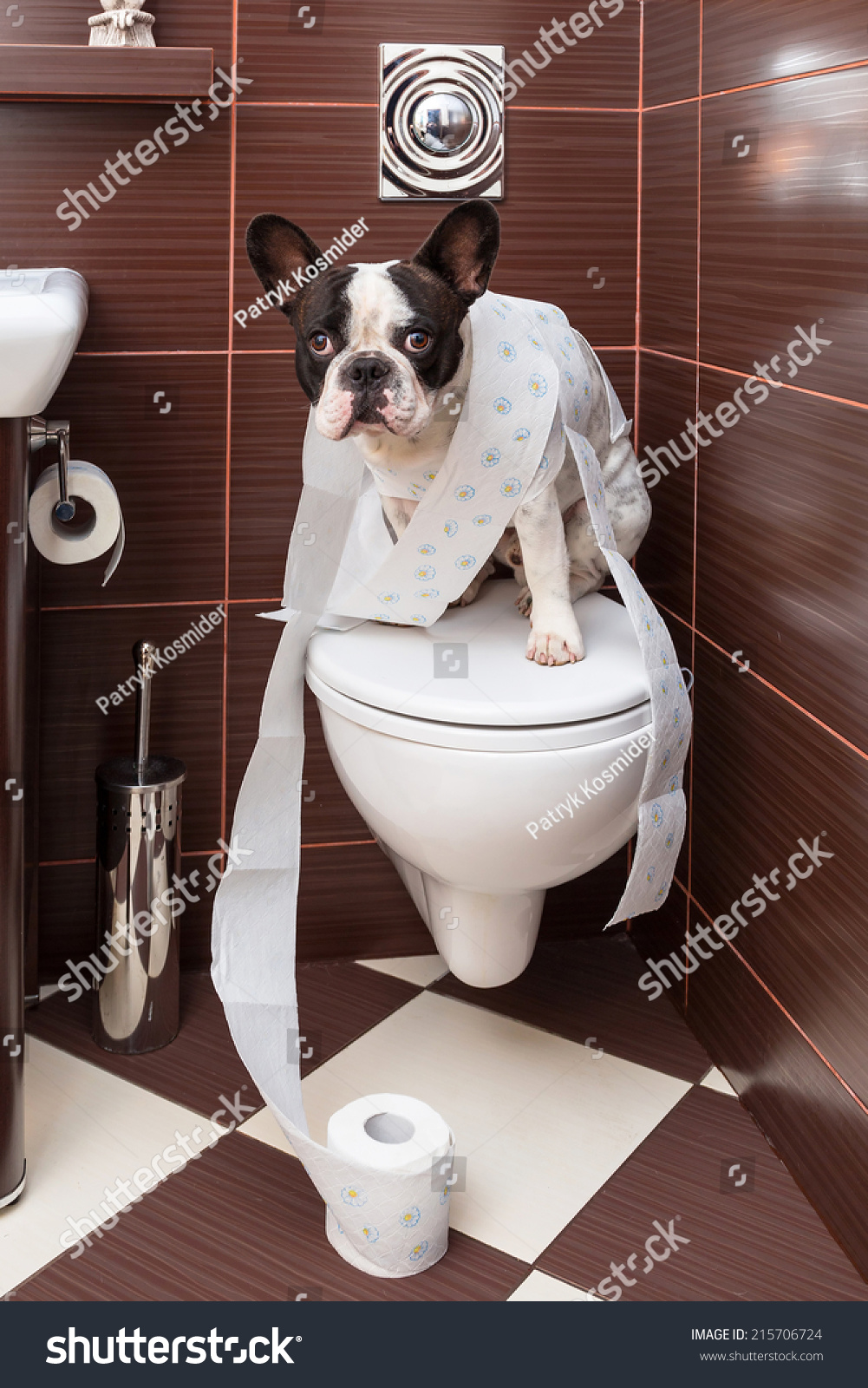 french bulldog home french bulldog sitting on toilet home stock photo 215706724