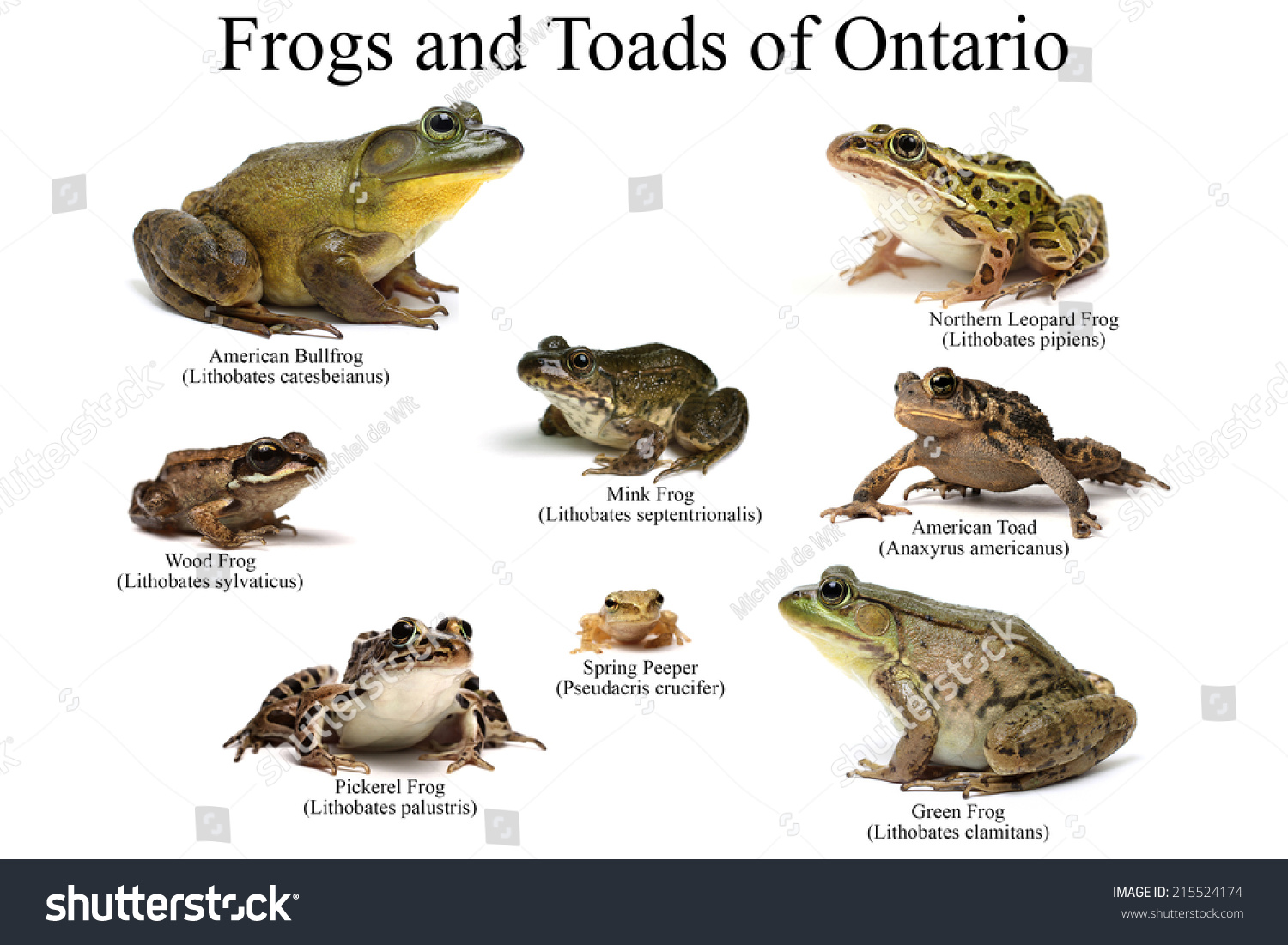 Frog Vs Toad Worksheet