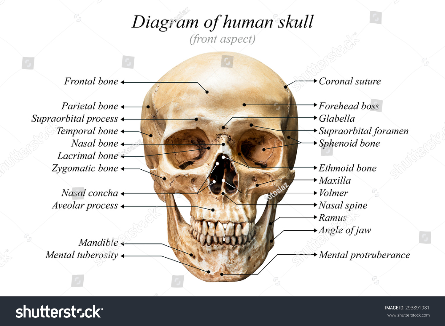 human skull landmarks diagram cricket life cycle front aspect of on white background