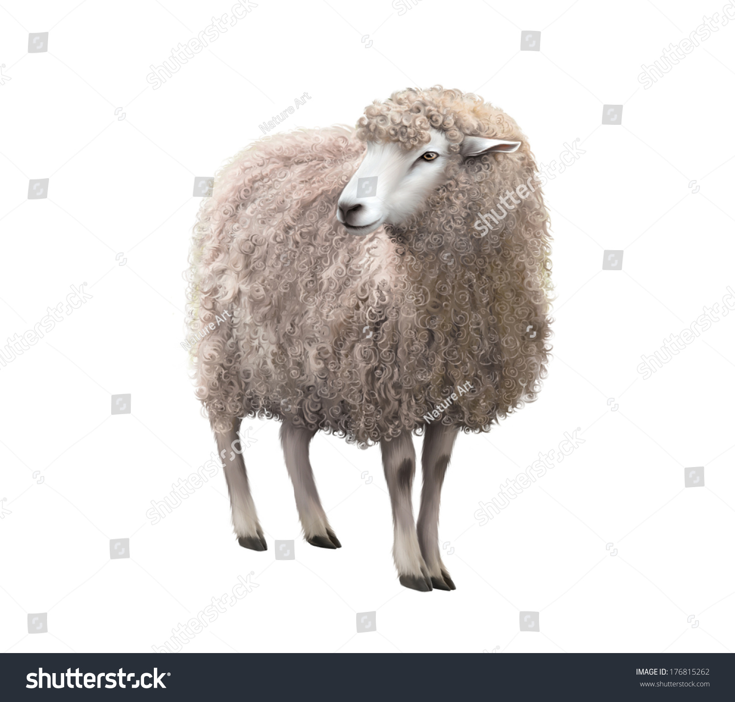 Front View Sheep Looking Away Illustration Stock