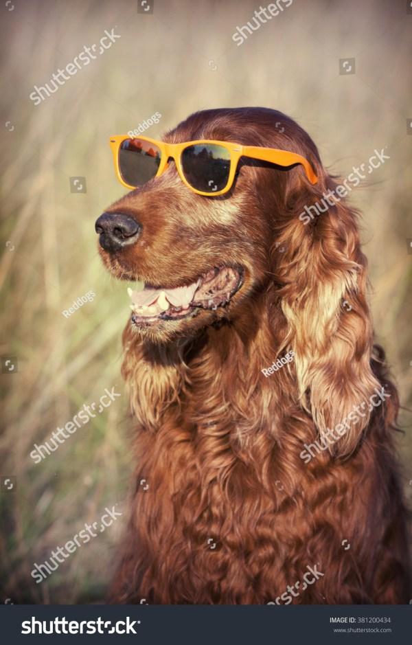 Funny Smiling Dog Sunglasses Stock 381200434 - Shutterstock
