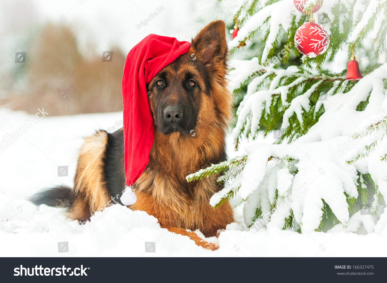 German Shepherd Dog With Christmas Hat Lying Near The