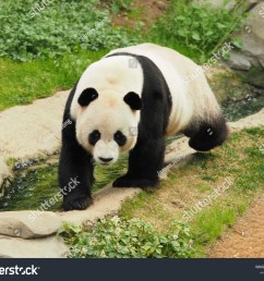 giant panda in his home paradise  [ 1500 x 1225 Pixel ]
