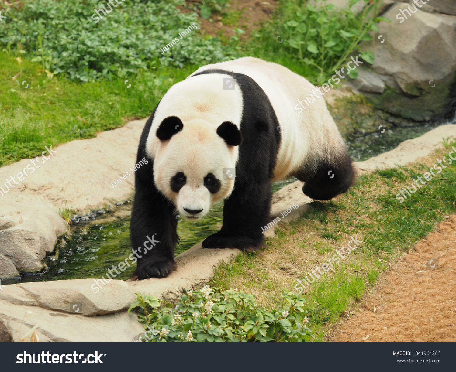 hight resolution of giant panda in his home paradise