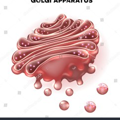 Golgi Apparatus Structure Diagram Ezgo Windshield Labeled Of A Plant Cell Vesicle