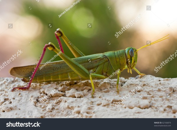 Green Grasshopper Locust Insect With Long Antennae Stock